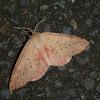 Pink Arhodia -♀