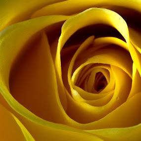 Yellow Rose by Bernice Then - Flowers Single Flower ( macro, yellow rose, yellow flower )