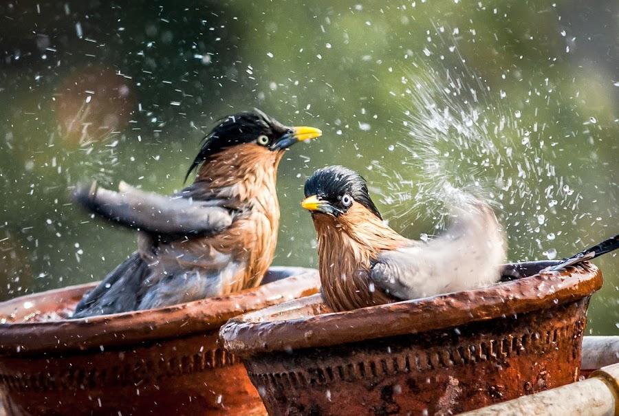 Freshen Up by Himanshu Sharma - Animals Birds ( water, fresh, happy, swim, india, candid, refresh, birds )