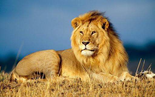 AFRICA LION Wallpaper