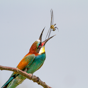 the catch by Doina Russu - Animals Birds ( bird, dragonfly, bee eater )