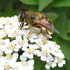 Syrphid Flower Fly