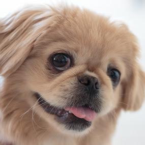 Charlie by Rick Shick - Animals - Dogs Portraits ( dog pekingese )