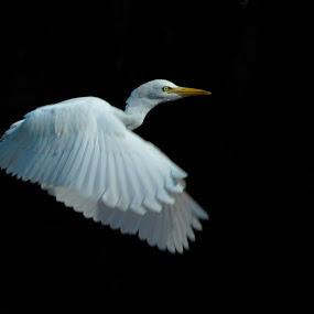 Cattle Egret by Gaurav Madhopuri - Novices Only Wildlife