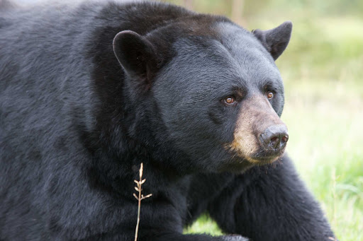 black-bear-zoo-Quebec - A black bear at the Zoo Sauvage de St-Felicien in Quebec, Canada.