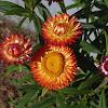 Helichrysum (Strawflower)