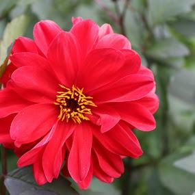 Longwood Gardens  by Bharath Iyer - Flowers Single Flower