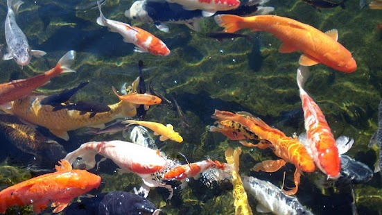 Koi fish live wallpaper android apps on google play for Koi pond hd
