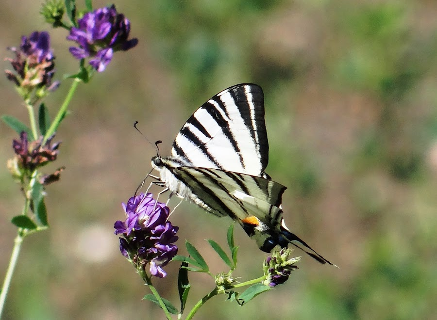 striped butterfly by Dubravka Bednaršek - Animals Insects & Spiders (  )