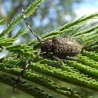 Acacia longicorn beetle