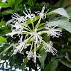 spotted Dracaena (Japanese bamboo)