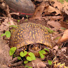 Three-toed box turtle