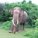 Sri Lankan Elephant II