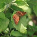 Fulvous Pied Flat butterfly  - Orange butterfly
