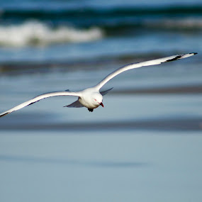On a Wing by Jodi Turner - Animals Birds ( bird, water, seagull, glide, sea, ocean, gliding )