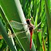 Dragonflie, Libelle