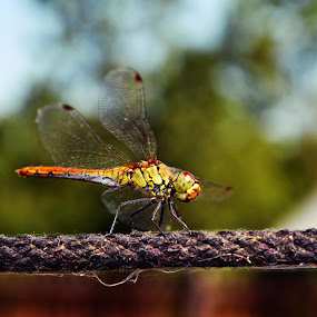 Dragonfly by Suciu Corina - Animals Insects & Spiders (  )
