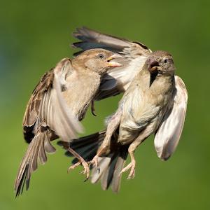 passer-sparrow-077.jpg