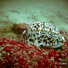 Tiger Cowry shell