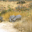 White rhinoceros/ Square-lipped rhinoceros