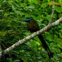 Blue-diademed Motmot