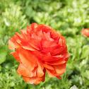 Persian buttercup (marimonia)