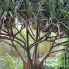 Pandanus Palm (aka Screw Palm)