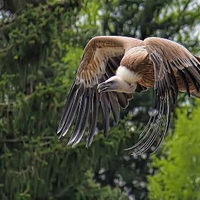 by Christian Heitz - Animals Birds ( , bird, fly, flight )