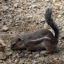 Yuma Antelope Squirrel