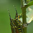 Painted Grasshoper