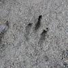 Agouti footprints