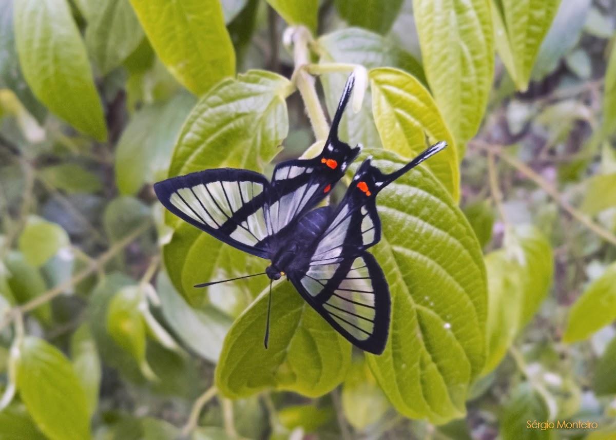 Chorinea butterfly
