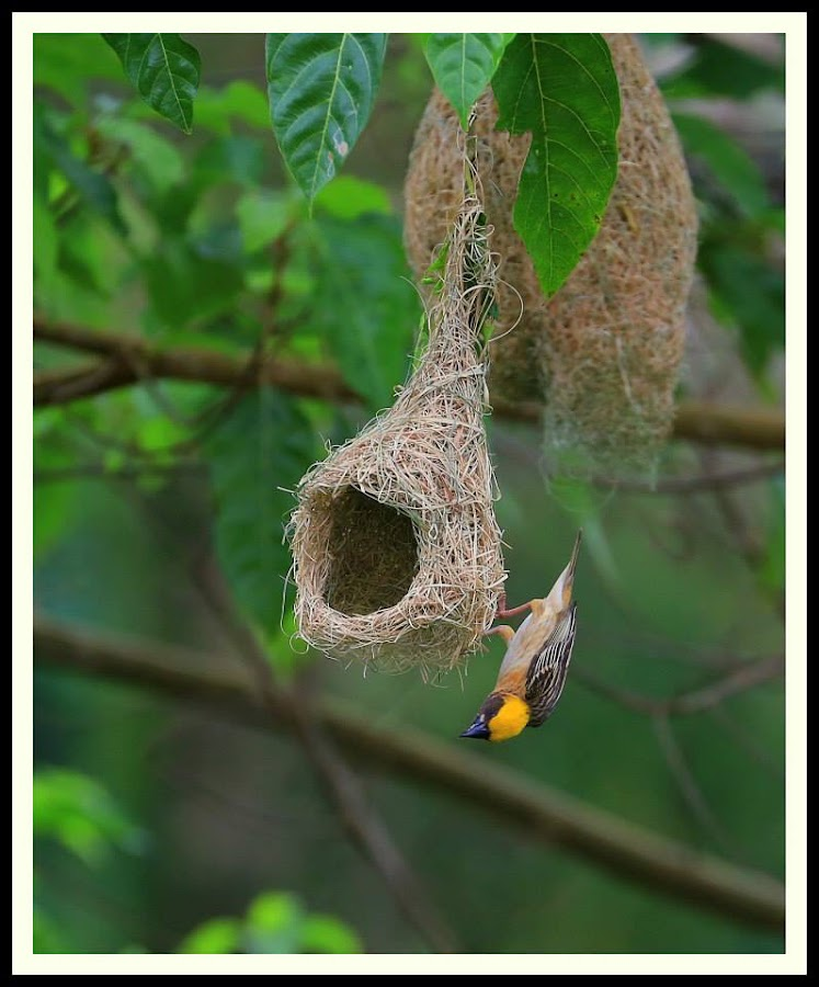 Baya weaver bird by Khang Chew - Animals Birds