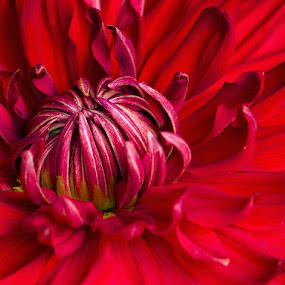 The Red by Subhasis Ghosh - Flowers Single Flower ( winter flower, red, nature, nature close up, flower,  )