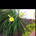 """Daylily (Cultivar """"Stella de Oro"""")"""