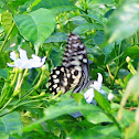 Lime Butterfly, Lime Swallowtail,  Chequered Swallowtail