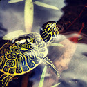Suwannee River Cooter