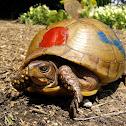 Three-toed box turtle (female)