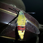 Bee Hawk Moth, Pellucid Hawk Moth