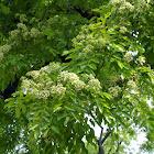 黄檀/Huali wood/fragrant rosewood