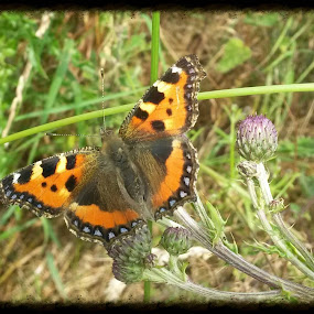 Small Tortoise Shell Butterfly by Kathryn Johnson - Instagram & Mobile Android ( colour, butterfly, nature, summer, insect,  )