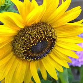 Sunflower by Lejla Hadziabdic - Flowers Single Flower ( #flower #colors #yellow #sunflower #summer )
