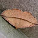 Dry Leaf Moth