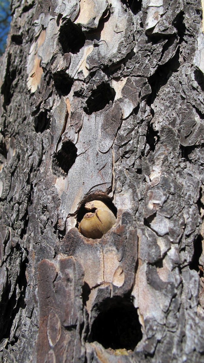 Acorn Woodpecker (granary)