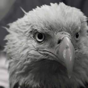 Eagle by Michael Holland - Animals Birds (  )
