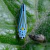 Blue Green Sharpshooter