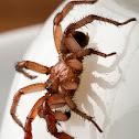 Folding-door Spider