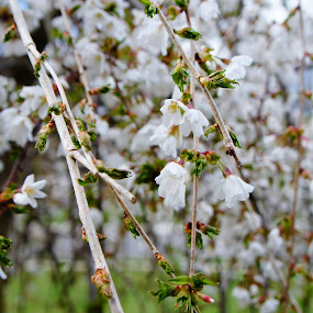 purity by Iggy - Flowers Tree Blossoms ( plum tree, flowers, spring )
