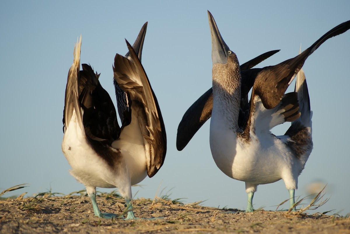 Blue footed-Booby