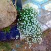 Sweet Alyssum Lobularia maritima